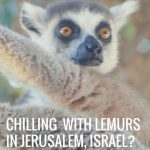 Surround Your Family With Adorable Lemurs at The Jerusalem Biblical Zoo