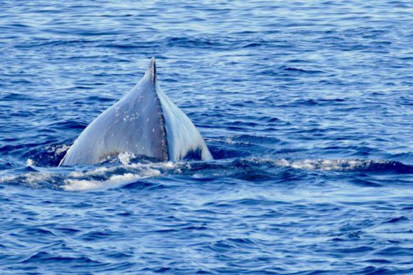 humpback-whale-dana-point