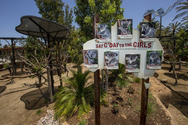 Exhibit sign for female koala enclosure