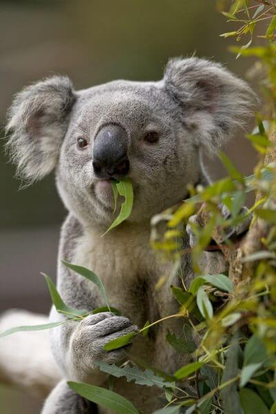 Koala with eucalyputs in mouth
